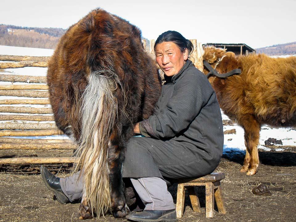 Adventure, Khangain Nuruu National Park, Mongolia, Nomads, animal, asia, farm, milk, photography, tips, travel, woman